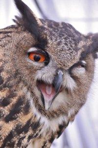 owl_pic